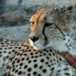 Global cheetah population is estimated to be 7,500