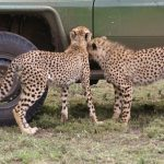Cheetah population is estimated to be 7,500 worldwide