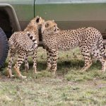 Cheetah population is estimated to be 7,500 globally