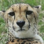 Globally the population of cheetah is estimated to be 7,500