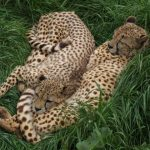Population of cheetah is estimated to be 7,500 world-wide