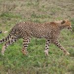 Population of cheetah is estimated to be 7,500 across the world