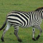 Equus zebra is one of the species of zebra