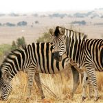 Zebra's stripes are horizontal on the legs and at the rear and vertical on the neck, head, forequarters, and main body