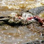 In the wild attacks on human beings by crocodiles are commonplace but the exact figures are unavailable because the incidents go unreported