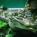 Crocodiles in America are olive-green or gray-green