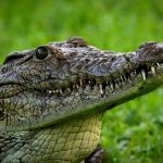 Crocodile meat is in high demand from the restaurants of upmarket tourist hotels