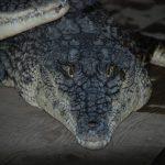 Big crocodile looking right at the camera