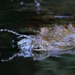 In Kenya crocodile farming has its challenges