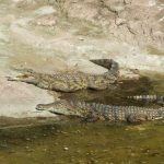 American crocodiles have long, slender snouts