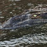 Crocodiles in farms are fed with blood-soaked maize, fish, and other meats