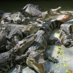 South Africa leads the pack in crocodile farming