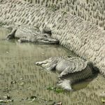 South Africa leads the pack in crocodile farming followed by Zambia