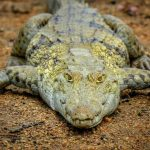 In Kenya farming of crocodiles poses no problem because they are not considered endangered