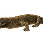 Crocodiles live in rivers, freshwater marshes, and mangrove swamps