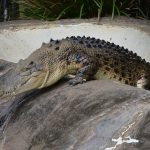 A Nile crocodile can attack almost anything that crosses its path