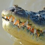The crocodile farming industry is small, but growing
