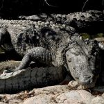 Some species of crocodiles have legendary tempers