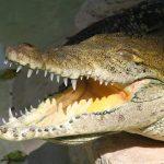 Nile crocodiles are said to taste delicious