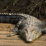 A member of staff at Collins Mueke's crocodile farm lost his index finger by a young crocodile a few weeks old