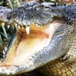 A member of staff at Collins Mueke's crocodile farm lost his index finger by a young crocodile