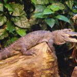 Crocodile farming is a lucrative, but dangerous, world