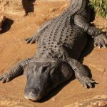 Even baby crocodiles can cause injury