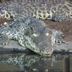 Crocodylus acutus are crocodiles in America