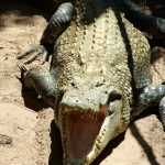 African crocodiles grow to 118st in weight and 16ft in length