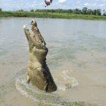 Crocodylus acutus is the name of American crocodiles