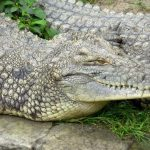 In the wild attacks on human beings by crocodiles are commonplace but the figures are not available