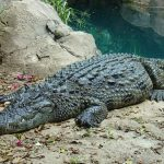 Wild attacks on human beings by crocodiles are commonplace but the exact figures are not available