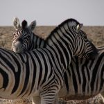 The predators of a zebra cannot see well at a distance and are likely to have heard or smelled a zebra