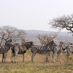 Zebras have four gaits: walk, gallop, trot, and canter