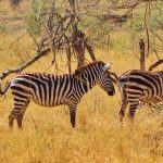 Crosses between zebras and other equines are called zebroid, zeedonk, zony, and zorse