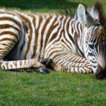 Zebra belongs to Chordata phylum