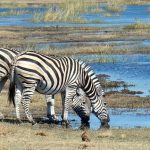 A group of zebras standing or moving together appear as one mass of flickering stripes to the predators