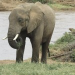 The elephant drinks water using its trunk