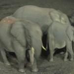 Elephants belong to the Chordata Phylum