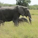 Elephants belong to the Mammalia class