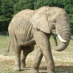 The elephant is extremely long-lived