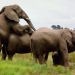 The Kenyan elephant is extremely long-lived surviving to 60 to 70 years