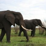 Males remain with the herd only until the age of 12-13 while the female elephants stay with the same herd all its life