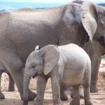 The male elephants only remain with the herd until the age of 12-13 after which it joins a group of other males known as a bachelor herd