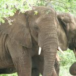 The male elephant only remains with the herd until the age of 12-13 after which it joins a group of other males known as a bachelor herd or lives alone