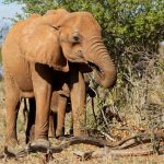 Many thousands of elephants were killed between the years 70s and 90s for their ivory
