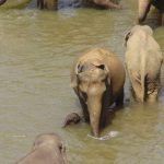 Threat to the elephant populations in Eastern Africa is increasing as poaching is rising