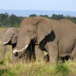 Tusks of the elephants are enormous front teeth