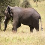 Tusks are enormous front teeth of an elephant