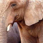 The tusks are enormous front teeth of elephants